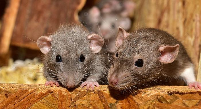 Rat infestation at home